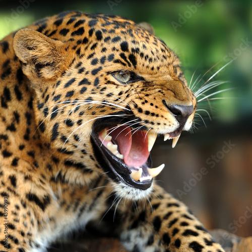 Fototapeten,leopard discus,afrika,gefahr,urwald