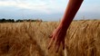 Slow motion close up of woman's hand moves and touches the wheat