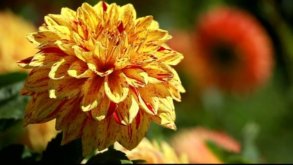 Dahlia flower at morning light in green garden
