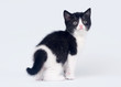 Bicolor scottish straight kitten on white background