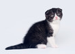 Bicolor scottish fold kitten on white background