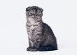 black smoke scottish fold kitten on white background