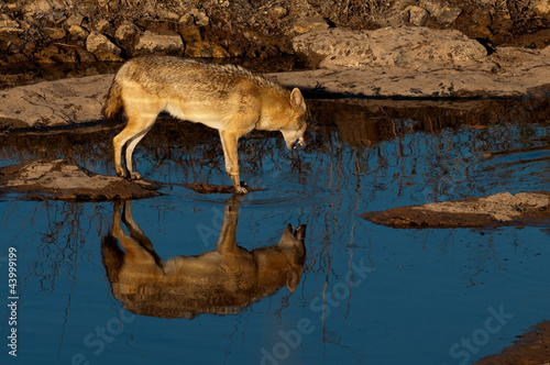 Indian jackal at a water hole