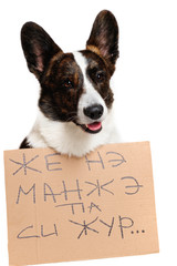 Welsh corgi pembroke dog in studio
