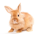 Fototapety Rabbit isolated on a white background