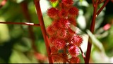Red Leaf of Castor Oil Plant, Selective Focus