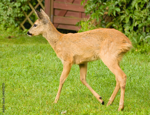 Foto op Canvas Ree Young Roe deer