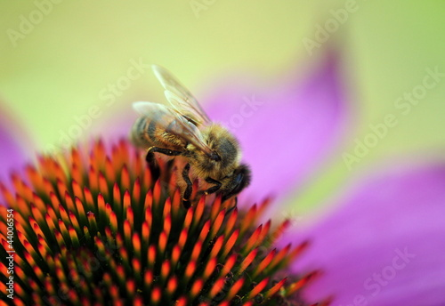bee on pink daisy