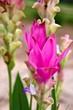 The beautiful Siam Tulip, Thailand