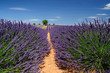 Lavender field. The plateau of Valensole in Provence