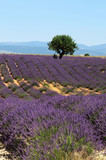LLavender field. The plateau of Valensole in Provence