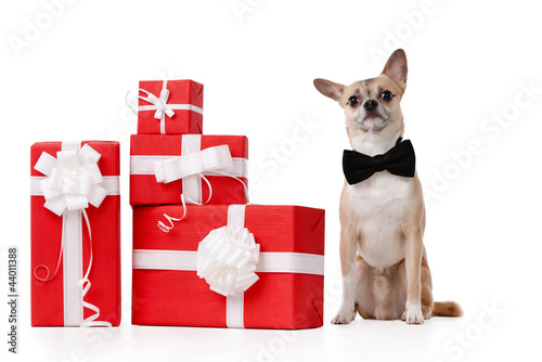 Pale yellow doggy sits near the presents, isolated on white