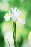 Beautiful iris on green background