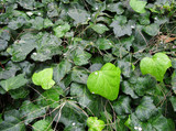 Carpet from bright green wet leaves of an ivy