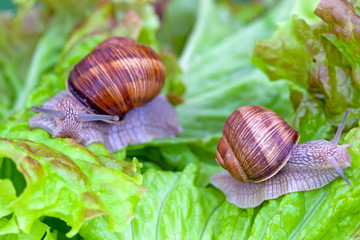 Snails after a rain on wet leaves
