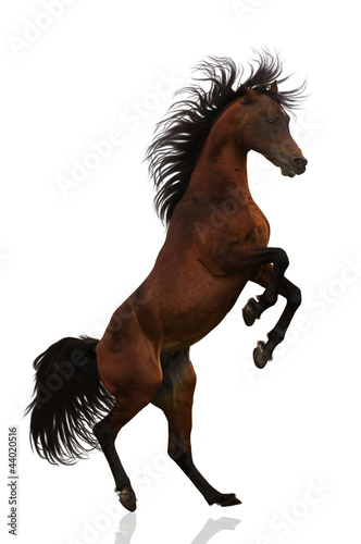 Acting Arabian stallion isolated