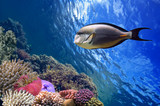 Tropical fish Acanthurus sohal and Coral reef