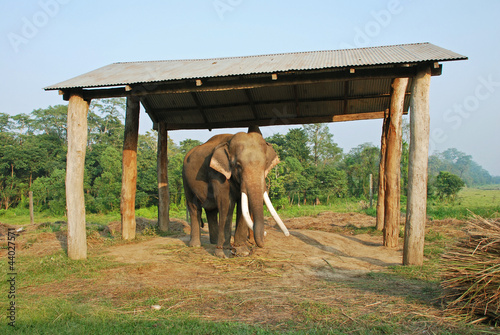An old elephant in Chitwan national park