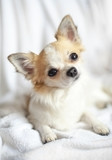sweet chihuahua puppy close-up with tilting head