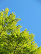Light green branches of a tree in the blue sky