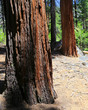 Trees of Yosemite