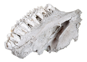The jaw of an ancient herbivore