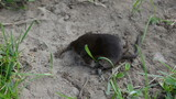 Animal Common shrew Sorex araneus on summer grass