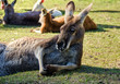 Large Kangaroo relaxing