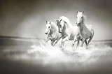Fototapety Herd of white horses running through water