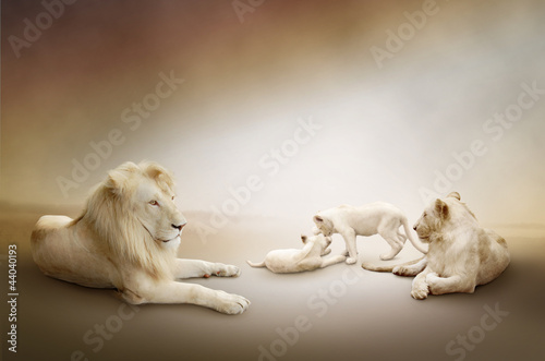 Fototapety, obrazy : White lion family