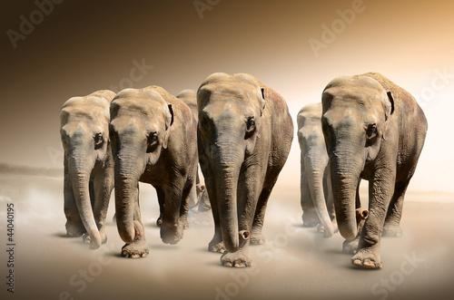 stado-sloni