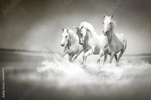 Poster Herd of white horses running through water