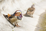 Two Mandarin ducks.