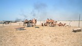camels and Environment Pollution