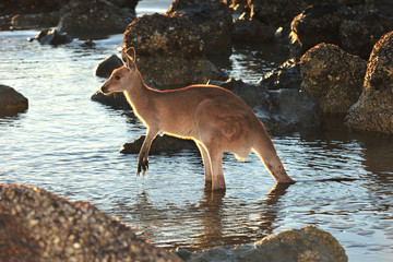 australian eastern grey kangaroo in water on beach, mackay