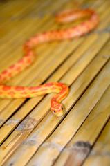 Young orange snake