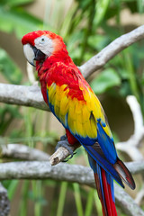 Scarlet macaw in nature surrounding