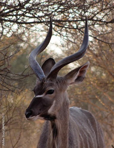 Kudu Under Bushveld Thorn Tree