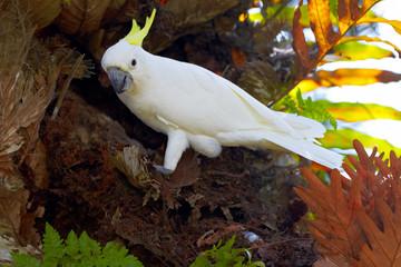 Sulphur Crested Cockatoo in nature surrounding