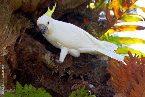 Sulphur Crested Cockatoo in nature surrounding