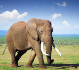 Elephant with large tusks