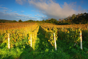 Rows of vines to sunrise
