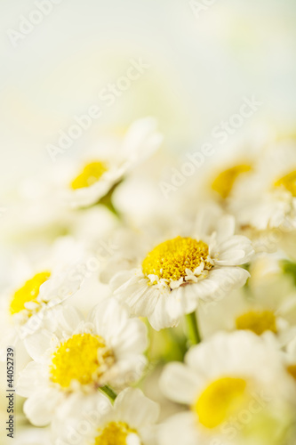 Beautiful daisies background