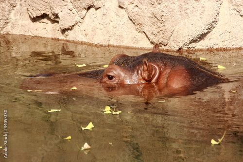 Hippopotamus Swimming In Zoo Enclosure