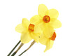 beautiful yellow daffodils isolated on white