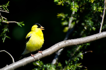 Singing American Goldfinch Perched in a Tree