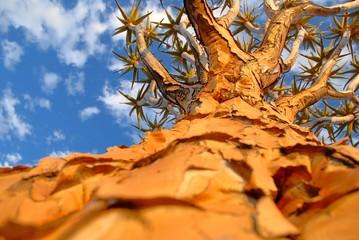 Köcherbaum (Aloe dichotoma) von unten