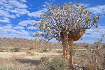 Webervogelnest im Köcherbaum ( Aloe dichotoma)