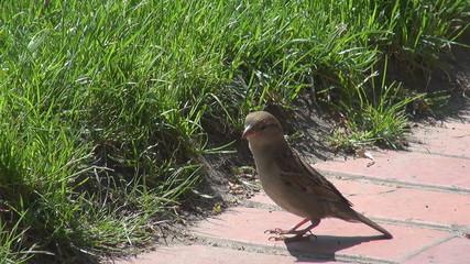 A beautiful sparrow on a sidewalk