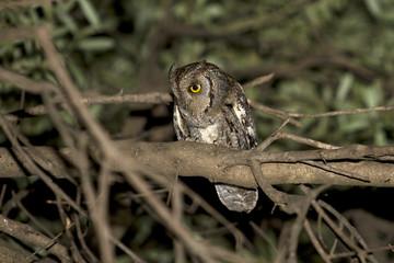 Assiolo, otus scops, scops owl